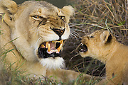 Lion <br /> Panthera leo<br /> After being introduced to the pride for the first time, a 5 week old cub returns a growl to an adult female pride member<br /> Maasai Mara Reserve, Kenya