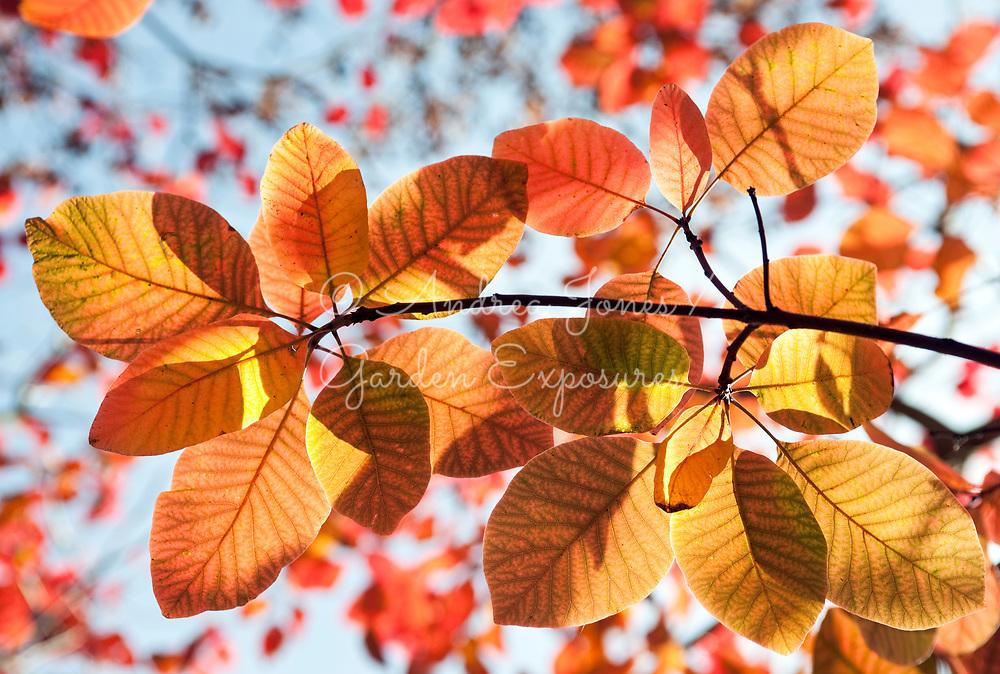 Cotinus obovatus x coggygria (smokebush) autumn foliage