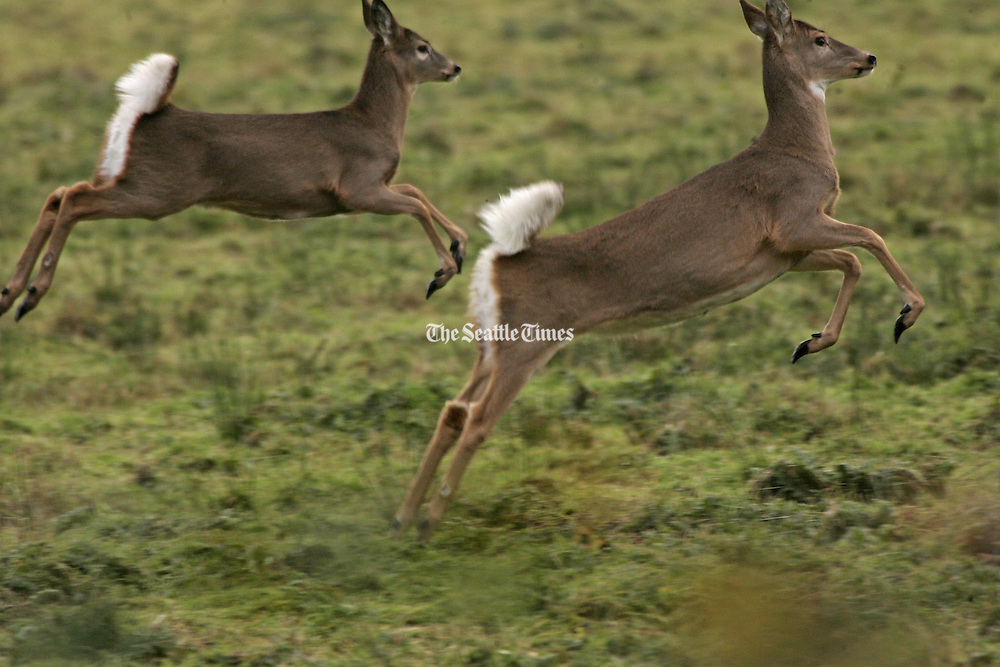 The Columbian white-tailed deer run free at the Julia Butler Hansen Refuge for the Columbian White-Tailed Deer, designed to protect and manage the remaining population of deer in the lower Columbia River valley. <br /> Mark Harrison / The Seattle Times