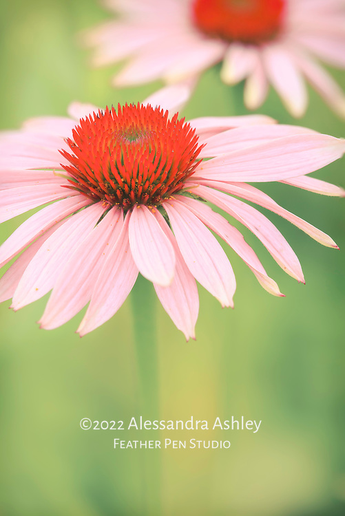 Soft glow on macro view of purple coneflower with ruby red center.  Midwestern tallgrass prairie.