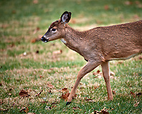 Young Doe.. Image taken with a Nikon D5 camera and 600 mm f/4 VR telephoto lens (ISO 800, 60m, f/4, 1/640 sec).
