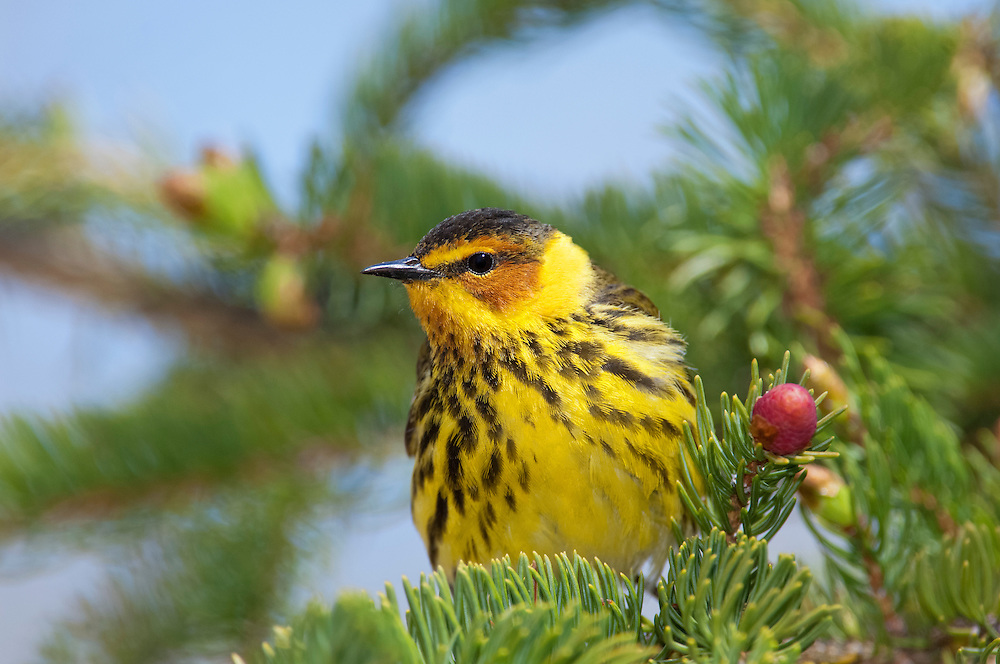 Cape May Warbler, Setophagatigrina, male on spruce, Tawas Point, Michigan