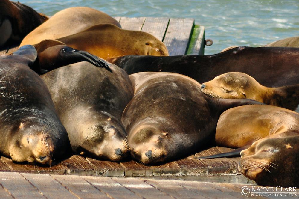 California Sea Lions - Pier 39 at Fisherman's Wharf, San Francisco, California, United States