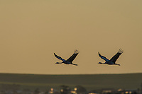 Blue Cranes flying over the town of Bredasdorp at dusk, Overberg, Western Cape, South Africa