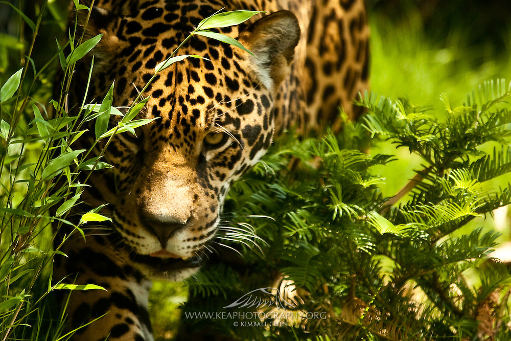 The jaguar is the third-largest feline after the tiger and the lion, and the largest and most powerful feline in the Western Hemisphere.  (This is the only captive animal in this gallery of Jewels of the Rainforest)