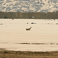 Coyote - Hunting<br /> Wyoming