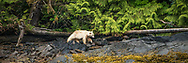 "The white bears of the Great Bear Rain Forest in British Columbia (also known as Kermode Bears) are the result of a genetic mutation in the black bears of the region.  These very rare bears are found only in this small protected area of the world.  Also known as ""spirit bears"", they are sacred to the native populations here."
