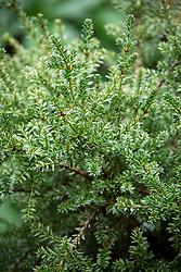 Podocarpus nivalis 'Kilworth Cream' AGM - Plum yew, Alpine totara
