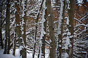 The trunks of a grove of trees covered in wind blown snow, Hayden, Idaho PLEASE CONTACT US FOR DIGITAL DOWNLOAD AND PRICING.
