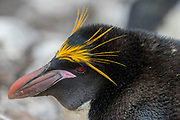 Macaroni penguin (Eudyptes chrysolophus) from Sounders Island, the Falkland Islands.