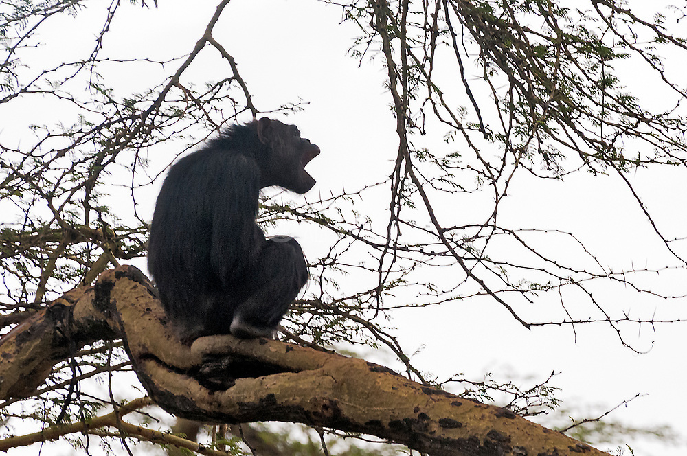 Common Chimpanzee (Pan troglodytes) in Ol Pejeta Conservancy, Kenya.