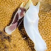 Chelidonura amoena & Chelidonura electra nudibranchs in Lembeh Straits, Indonesia.