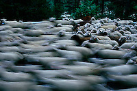 June 1999, Alpes-de Haute Provence Department, France --- A sheep flock runs along a road on its way to mountain pastures in Provence. During June in Provence, shepherds move their flocks to high mountain pastures from the lower meadows in the Alps, a traditional event called . --- Image by © Owen Franken