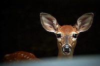 Inquisitive Fawn From Across My Car Hood. Backyard Nature in my Backyard -- Summer in New Jersey. Image taken with a Nikon D700 and 28-300 mm lens (ISO 280, 300 mm, f/5.6, 1/60 sec). Raw image processed with Capture One Pro 6, Nik Define 2, and Photoshop CS5.