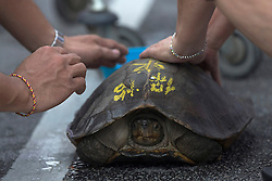 © Licensed to London News Pictures. 28/09/2014. Ipoh, Malaysia. People stroke a tortoise from a temple for luck as devotees process with deities through the streets of central Ipoh, Malaysia on the 5th day of the Nine Emperor Gods Festival, Sunday, Sept. 28, 2014. The festival is a nine-day Taoist celebration to mark the birth of the Nine Emperor Gods from the first day to the ninth day of the ninth moon in Chinese Lunar Calender. The origin of the Nine Emperor Gods (stars of the Northern constellation) can be traced back to the Taoist worship of the Northern constellation during Qin and Han Dynasty and absorb this practice of worshipping the stars and began to deitify them as Gods. Photo credit : Sang Tan/LNP