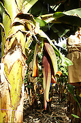 Israel, Jordan Valley, Kibbutz Masada Banana Plantation inflorescence, partially opened..