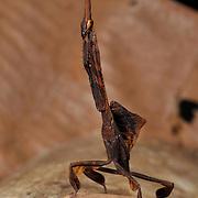 Female nymph of Ceratocrania macra Mantis. In Khaeng Krachan National Park, Thailand.