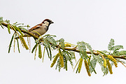House sparrow (Passer domesticus, male) from Rajasthan, India.