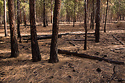 Ponderosa pine forest after a controlled burn designed to clear underbrush and other fuels from the forest floor. Regular controlled burns keep dry fuels and flammable brush from accumilating to such a degree that fires will devolve into super hot , uncontrolled conflagrations that kill trees.