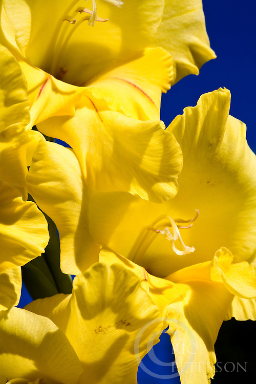 Yellow gladiolus flowers close up in garden