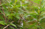Wasp spider, Argiope bruennichi, spinning a dew- covered web