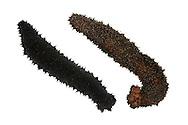 Cotton Spinner - Holothuria forskali