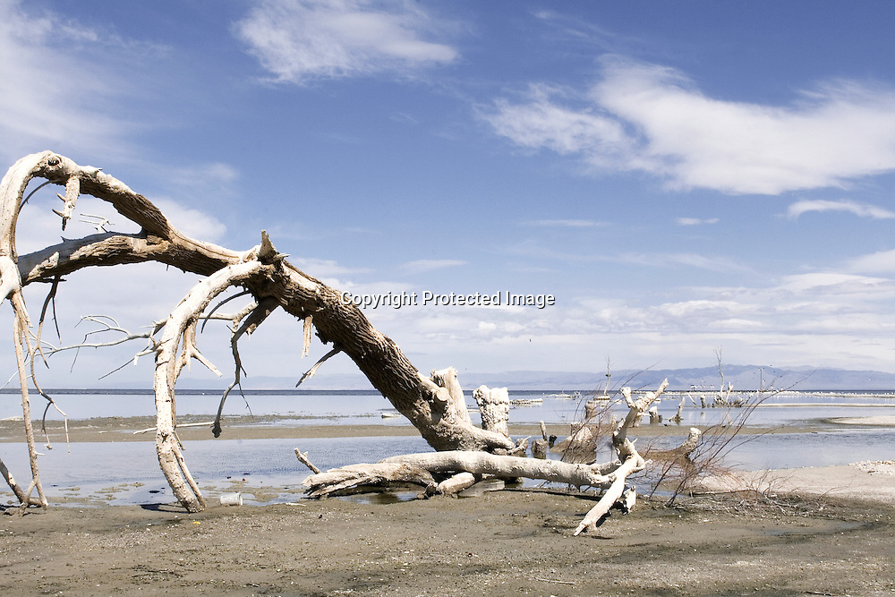 Dead trees in the drying up Salton Sea Lake - Western shore