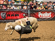 "14 AUGUST 2019 - DES MOINES, IOWA: A competitor rides a sheep in ""Mutton Busting"" at the Iowa State Fair. The Iowa State Fair is one of the largest state fairs in the U.S. More than one million people usually visit the fair during its ten day run. The 2019 fair run from August 8 to 18.               PHOTO BY JACK KURTZ"