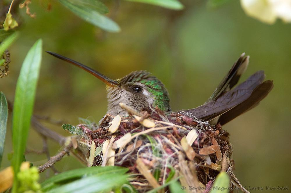Broad-billed Hummingbird [Cynanthus latirostris] female incubating eggs in nest; Tucson Sonoran Desert Museum, Arizona