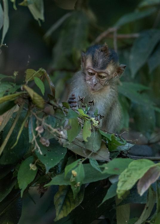 borneo, long tailed macaque, macaque, primates