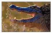 Caiman from Pantanal, Brazil.  Nikon D810, Sigma 150-600mm @ 600mm, f6.3, EV-2, 1/1600sec, Aperture priority