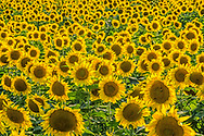 Sunflowers, Mattituck,  New York