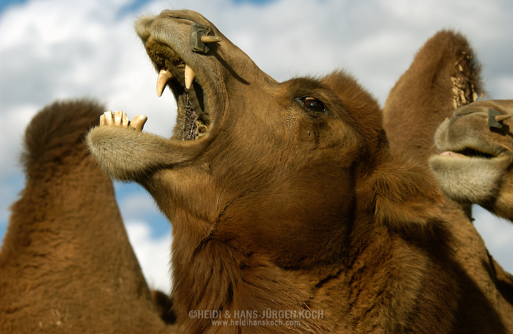 Mongolei, MNG, 2003: gähnendes Kamel (Camelus bactrianus), die scharfen Eckzähne sind sichtbar, ebenso die Zahnreihe im Unterkiefer. | Mongolia, MNG, 2003: Camel, Camelus bactrianus, yawning camel between others, sharp canine teeth are visible and the tooth row in the lower jaw, South Gobi. |
