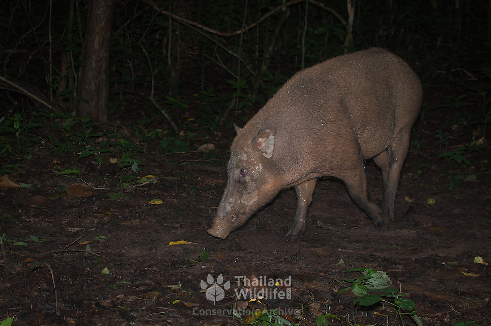 The wild boar (Sus scrofa), also known as the wild swine or Eurasian wild pig is a suid native to much of Eurasia, North Africa,