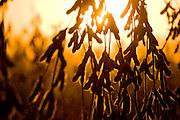 Soybean harvest in Clay county, South Dakota, Friday, November 6,2009.