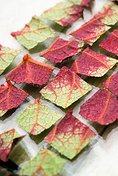 Taking leaf cuttings from a begonia using the leaf square method<br /> Squares ready to plant