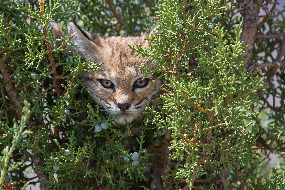 Bobcats inhabit the forests of Wyoming, but like most cats, they live in the shadows and are rarely seen. This bobcat kitten was spotted in the Bighorn National Forest, as it hid in a juniper bush, safe from predators.