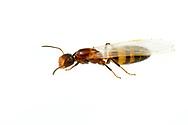 Ant (Colobopsis impressa) reproductive<br /> United States: Alabama: Tuscaloosa Co.<br /> Tulip Tree Springs off Echola Rd.; Elrod<br /> 15-Jun-2017<br /> J.C. Abbott #2960