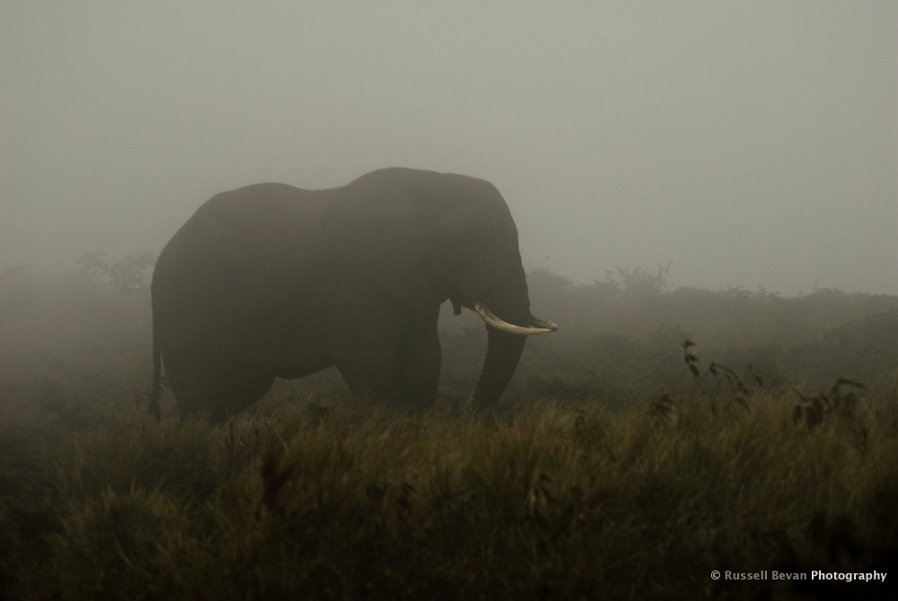 An African Elephant stands in the morning mist on the rim of the Ngorongoro Crater, Tanzania