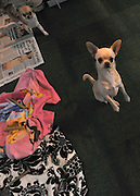 ©London News pictures. 10/03/11. Chihuahuas on an exhibition stand. Exhibitiors and their dogs at Crufts 2011 held at The National Exhibition Centre in Birmingham today (Thurs). The show runs from 10 - 13 March 2011 Picture Credit should read Stephen Simpson/LNP
