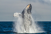This humpback continually breached and fin slapped for over an hour. While there are a few different guesses as to why whales breach, such as to get the attention of other whales and to help clean themselves of paraites, there is still no definitive answer.