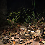 Large-tailed Nightjar (Caprimulgus macrurus) in Kaeng Krachan district, Thailand