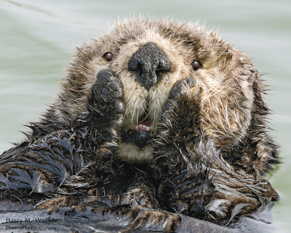 Sea otter (Enhydra lutris kenyoni) cleaning its fur