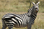 Zebra showing teeth, Kenya