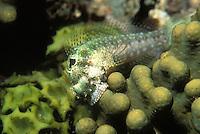 Ophioblennius steindachneri; banded blenny; feeding on coral