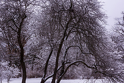 Snow covered trees in the University of Wisconsin Arboretum.