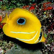 Eclipse Butterflyfish inhabit reefs. Picture taken PNG.