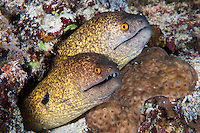 A pair of Yellowmargin Morays share a den..Shot in Indonesia..