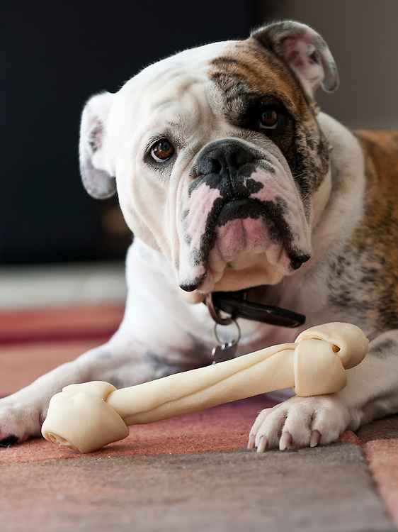 Close up image of english bulldog with a bone and looking at camera.