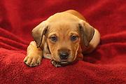 Shelter puppy, Whatcom Humane Society